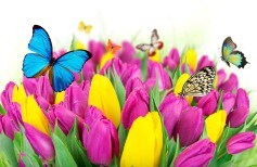 6000x3450_flowers-colorful-spring-butterflies-tulips-purple