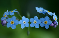 Nature___Flowers_Beautiful_little_flowers_forget-me_066008_