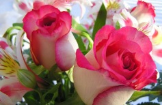 roses_223