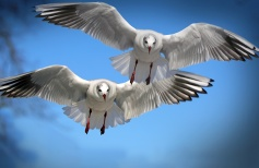 Gull_Birds_Flight_Two_Wings_556730_1600x1200